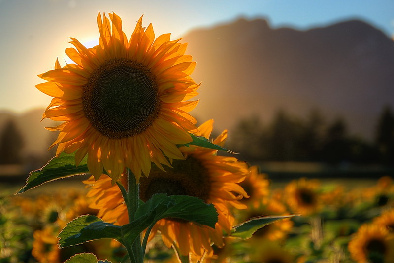 Sonnenblumen…