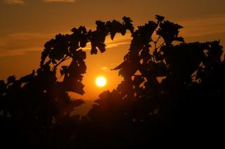 Sonnenaufgang Weinreben Toscana