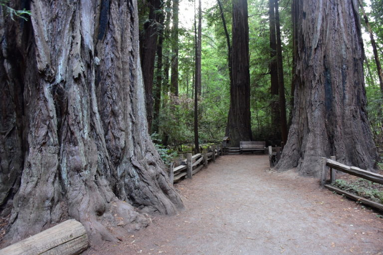 Henry Cowell Redwoods State Park Grove